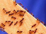Как избавиться от муравьев.