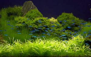 neony-v-akvariume-sreda-obitaniya-i-uhod
