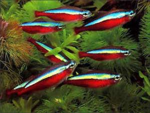 neony-v-akvariume-sreda-obitaniya-i-uhod2