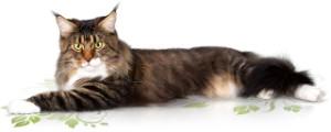 Кошки породы мейн кун1
