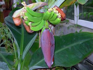 banany-doma-1